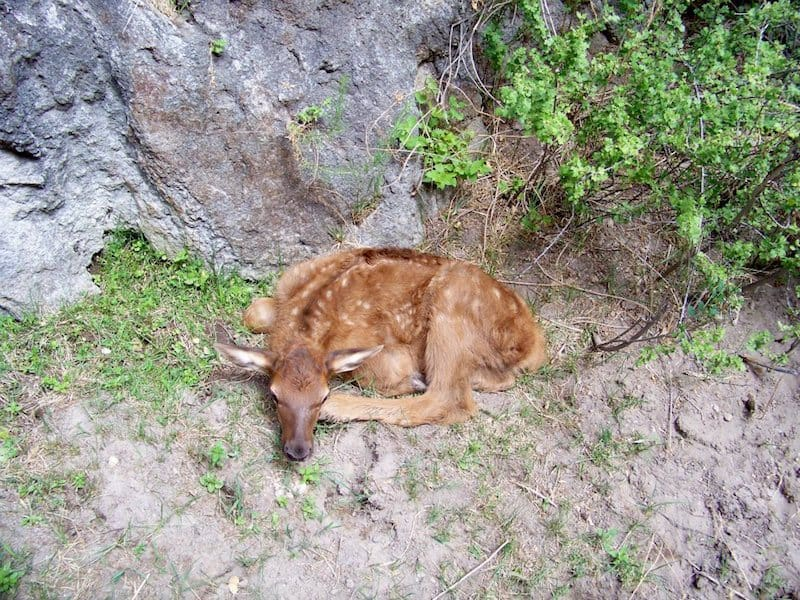 Baby Elk at Geronimo Trail Guest Ranch