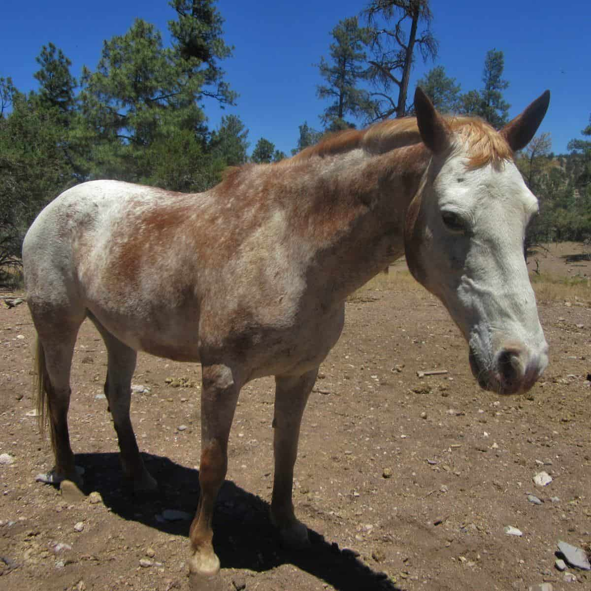 Strawberry Shortcake, a pony at Geronimo Trail Guest Ranch